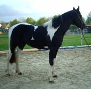 Paint Horse Deckhengst