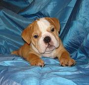 Englische Bulldoggenhündchen zum Verkauf