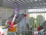 000bbb.jpg - Schöne Papageien (Keilschwanzsittiche und afrikani