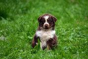 Süße Reinrassige Australian Shepherd Welpen