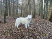 Weisser Schäferhund-Deckrüde