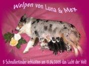 Australian Shepherd Welpen o.Pap.