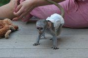 netter Baby capuchine Affe für Annahme.