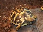 Kröte.JPG - Griechische Landschildkröten