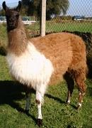 schlotti_lama_1[1].JPG - 3 Lamas zu verkaufen