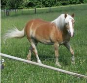 freundliche Haflingerwallach Pferd