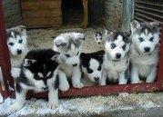 reine Rasse Siberian Husky-Welpen