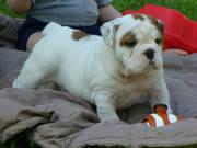 Gesunde English Bulldogge Welpen zur Annahme