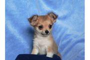 Reinrassige Chihuahua Welpen mit FCI Papiere