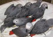 Sozialisiert Graupapageien Papageien