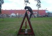 Dogo Canario Welpen - Alano - Presa Canario