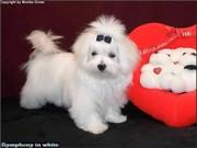 Welpen vom Malteser-Hundeparadies-Nikita 13.jpg