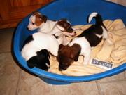 Jack-Russell –Terrier Welpen