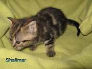 reinrassigee BKH Kitten wiskas