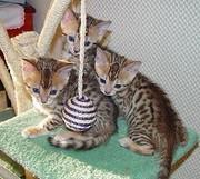 bb.jpg - Bengal Kätzchen zum Verkauf