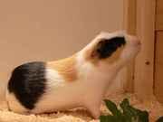 Cuy-Böckchen ( peruanisches Riesenmeerschweinchen