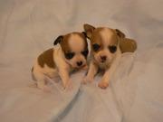Teetasse Chihuahua Welpen gratis