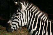 zahmes Zebra