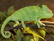 jemen_09.jpg - Jemen Chameleon calyptratus