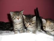 4 Perser/Siam Babys abzugeben