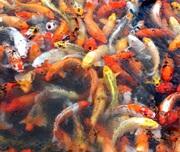 Koi ganz viele.jpg - Teichfische in großer Auswahl // Fa.Fördefisch