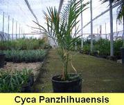 Cycas panzhihuaensis Panzhihua-Sagopalme ca. -16°C