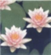 Wasserpflanzen und Seerosen guenstig