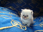 Exotic Shorthair und Perser Colourpoint