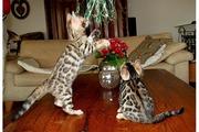 bengal kitten post 2.jpg - Bengalkitten von