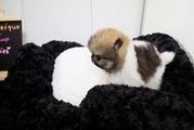 7 Pomeranian -Zwergspitz - Babies + Mutter und Vat
