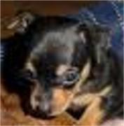 Kleinbleibende Chihuahuamix-Pinscher Welpen !!!-Web pinscher4.jpg