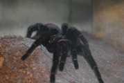 DSC_0498_556.JPG - Brachypelma vagans Spiderlinge