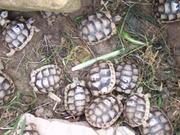 100_2721.JPG - Griechische Beitrandschildkröten