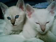 4 Kitten Siam Katze (hell)