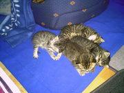 BKH-Kater Kitten