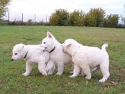 Weisse Schäferhund Welpen >>Abgabe Mitte März