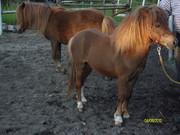 ponny zu verkaufen