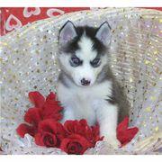Kole(2).jpg - Siberian Husky Torten zum Verkauf