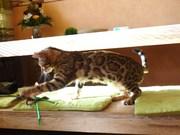 my  bengal.JPG - Bengalkatzen Zuchtaufgabe