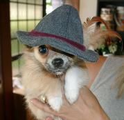 Chihuahua Welpen bereit zur Annahme