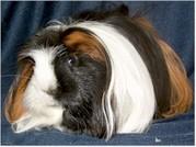 wunderschöne Rassemeerschweinchen abzugeben