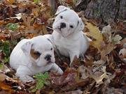 Lilly and Dylan.jpg - Liebevolle englische Junge Bulldogge-Hunde Zum Ver