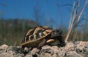 untitled.bmp - Grichische Landschildkröten