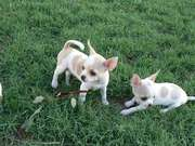 diana and li.JPG - Chihuahua-mix