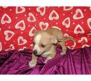 Chihuahua.jpg - Teetasse Chihuahua Welpen zu verkaufen