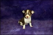 süße chihuahua junge Hunde umsonst adoption.