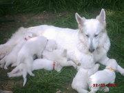 Weisser Schäferhund - Welpen
