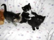 5 Edel Mix Perser-Siam Kätzchen
