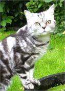 0. GALAXY Front.JPG - Whiskas Katze abzugeben BKH Britisch Kurzhaar blac
