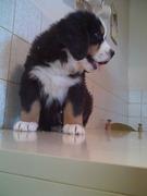 ABCD0012.JPG - Berner Sennenhund Welpen zu verkaufen